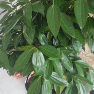 这是什么树?叶子黄怎么回事?
