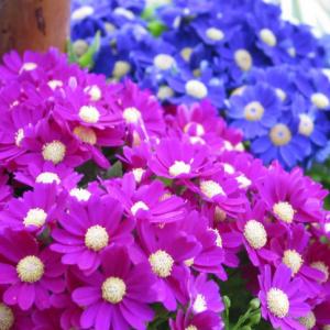 瓜叶菊的优点很多,花色多价格便宜,所以大多花友的瓜叶菊都是花卉市场买的成品,不过花友们想知道瓜叶菊开完花后怎么处理,想着是不是可以第二年继续养。   瓜叶菊是多年生草本是可以养多年的,但是,一般都做一二年生来栽种,秋天播种翌年的春天开花,之所以这样,是因为瓜叶菊不耐热,一般在温度到30℃的时候就不行了,所以大多数花友的瓜叶菊都不能度夏,花后全株就会枯萎。如果气候条件可以,可以度夏,那么可以一直养着的。  当然了,瓜叶菊也不一定是一次性的,花后可以采集种子,到秋天的时候播种。不过并不是所有的瓜叶菊都可以结种子,因为瓜叶菊是异花授粉的植物,所以如果只买一盆,运气好的话在商家那里就开花了,也许就自然授粉了,如果买的时候都还没开,那么就一盆基本就不会有种子。     因为瓜叶菊颜色比较多,所以我们自己采集的种子,第二年的花色一般都不会和原来的一样。  简单说一下瓜叶菊授粉,可以用棉签在不同的瓜叶菊上沾取花粉来达到授粉的目的,瓜叶菊的种子和蒲公英的差不多,种子上带有绒毛,采集种子后将种子在阴凉的抵挡晾干然后密封保存,待秋天时播种即可。  看到这里花友是不是知道了瓜叶菊花期过后怎么办了,说实话,因为瓜叶菊价格不高,花期还很长,有些地方一般10块钱左右一盆,可以欣赏3个月左右,管理也比较简单。所以不建议花友折腾保留,因为我们买到的瓜叶菊都是大棚里出来的,经过催花,如果我们自己播种的瓜叶菊开花不见得能像买来的那样丰满。