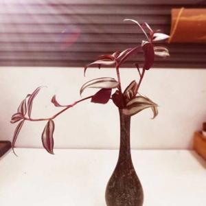 吊竹梅是最皮实好养活的植物之一,随便扦插都能活并且疯长,也正因为这样,很多花友的吊竹梅有点凌乱,那么吊竹梅要怎么种才漂亮呢?没有固定的造型,但是我们可以根据它的特性来灵活整理,吊竹梅长势快,有匍匐茎,老植株底部根茎叶子自然脱落,知道这几个特点,就比较容易处理它了。   如果花友喜欢小清新风格,就要舍得清理吊竹梅,刚开始一个枝条,几个月可能就一大盆,时间越久越多,越看就越不入眼了,所以要果断清理掉多余的吊竹梅,毕竟这货不值钱且很普通,我们可以经常扦插,以此来保持好的造型。   如果花友喜欢那种垂吊类的,可以用吊盆养吊竹梅,保证可以获得一盆长发飘飘的吊竹梅。   也可以将吊竹梅枝条剪下来插在花瓶里做切花欣赏,等长残了,扔掉重新再插。   以上是我们利用它的生长快速的特点来处理的,如果想一盆一直养着,还保持小资情调,基本很难, 毕竟它生长太快了,也不是修剪可以解决的,底部根茎部分随着时间会逐渐掉叶子,不好看。  另外,要让吊竹梅漂亮,叶子的颜色也很重要,吊竹梅容易受光照的影响改变叶子的颜色。  吊竹梅对夏日高温不适应,需要在凉爽通风的环境生长,因此,在炎夏季节切忌烈日曝晒,做好遮阳通风工作,否则会引起叶黄枯焦。  生长期要求盆土经常保持湿润,夏季放于荫棚下,经常喷水和对枝叶喷雾,保持枝叶鲜艳;冬季温度低,应节制浇水,使盆土稍干。切忌盆内水分过多,以免过湿而引起烂根。