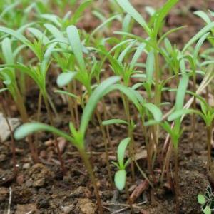 看到有花友问波斯菊种子是怎么样的,一般来说买波斯菊种子不会有假的,因为种子易得,价格也便宜,而且大多都是混色,所以基本都是真的,下面放几张图片,花友可以看一下!     下面说一下波斯菊种子的种植方法,先说一下波斯菊种子什么时候种,一般来说每年的春天播种就可以了,大概3月份的样子,播种后,大约3、4个月后,波斯菊开始进入盛花期。  如果花友是买种子,可以注意一下,波斯菊现在有高杆和矮杆的品种之分,当然盆栽的朋友,种矮杆更实际更稳健。地栽的或者盆大的朋友,种高杆的更有风味。  1、播种:可以直接撒播然后覆土1毫米左右的细土浇水就可以,也可以考虑用纸巾催芽法,把适量的种子(一定记得适量,发芽率实在太高了)用30-40度的温水泡个半个小时。在一个容器中以纸巾上下覆盖着种子,保持纸巾的湿润,放在较暗的角落,等三五天,大部分种子开裂,有白白的小腿伸出来,就可以入盆了。   2、苗阶段护理:种下的种子,一周就能长成下图这样,如果苗长成这么密,赶快疏苗!   3、打顶:波斯菊苗长到10厘米左右,就要记得打顶了。第一次打顶很重要,这是促进植株主杆增粗,整个植株形态优美的关键,图为打顶后约一周。是不是感觉茂盛了很多,其实是两个侧芽出来了。   4、成长期管理:  波斯菊很坚强,如果天气不好,小小的个子就喜欢开花了,如果你喜欢这种单薄的感觉,让它马上就开花也没问题,但是花会稀稀疏疏,花朵尺寸很小,不好看。建议在小苗阶段,看到花苞就赶紧掐了,直到主杆长得比较粗壮,再让它开花。     波斯菊容易生病,白粉病、蚧壳虫、红蜘蛛,蚜虫都很容易得,所以大药最省事在小苗期打一次,长大了偶尔打一次,就会好很多,注意控制间距,种的太密容易得病,这个很容易理解。
