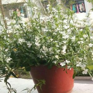 提问这是什么花!好像是四季开花的 都是小白花