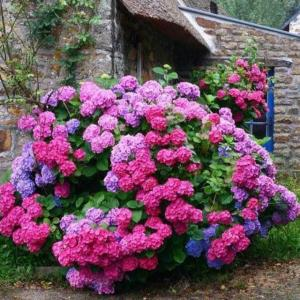 Amazing how  #hydrangeas   can blossom in so many different vibrant colours!