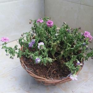 我的花怎么了呀?为什么会这样,求大神帮我看看。