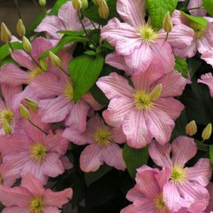 """根据修剪方式可分为:一类(不剪)、二类(轻剪)和三类(重剪),这里的""""剪""""特指冬末开春的修剪方式;根据铁线莲的开花形态及开花时间可分为:常绿组、长瓣组、蒙大拿组、早花大花组、晚花大花组、佛罗里达组、全缘组、德克萨斯组、南欧组等。这里简要介绍品种及修剪方式,无配图,请见谅。以1-10来描述种植难度,10为最难。  冬末开春修剪:一类只要把枯叶去除就可以了;二类从无饱满芽的节开始剪;三类品种(重剪),全缘组贴地重剪,晚花大花组建议留3-7节枝条修剪。 花后修剪:一般花后修剪,40-60天会开第二波。一类修剪方式的品种,只要剪残花和多余的枝条。其他品种建议花后先只修剪残花,约7月底,剪掉开过花的节,这样大概10月左右能开集中的秋花。    一、常绿组(一类修剪) 常见品种:苹果花、乔(银币)、雀斑、春早知、小精灵、皮特里,月亮豆、闪铃 花期:早春,无秋花 修剪建议:开春修剪病弱枝;花后剪掉残花或留种荚,剪掉残花会很快再发枝条,留种荚可以看到美丽的果序但影响萌发新枝条。 种植建议:盆栽,通透介质为佳,夏秋需水量大,避免高温期间淋雨。需低温春化,冬季5度以下气温天数不足30天的地区建议不要栽种。不耐肥,避免使用有机肥。 难度系数:8   二、长瓣组(一类修剪) 常见品种:粉红玛卡(千瓣粉)、塞西尔、蓝鸟、芭蕾裙、火烈鸟、紫蛛、斯托尔维克、梅德维尔 花期:早春老枝条上开花,夏秋新枝条有花。 修剪建议:开春修剪病弱枝;花后剪掉残花或留种荚,剪掉残花会很快再发枝条,留种荚可以看到美丽的果序但影响萌发新枝条。 种植建议:盆栽,通透介质为佳;不淋雨,全阳到半日照都可以。不耐肥,避免使用有机肥。 难度系数:8  三、蒙大拿组(一类修剪) 常见品种:布朗之星、粉玫瑰、巨星、绿眼睛、鲁宾斯、杰出 花期:早春,无秋花 修剪建议:开春修剪病弱枝;花后剪掉残花或留种荚,剪掉残花会很快再发枝条,留种荚可以看到美丽的果序但影响萌发新枝条。无秋花。 种植建议:盆栽,通透介质为佳;不淋雨,全阳到半日照都可以。江浙地区死亡率极高,建议介质中加入三分之一谷壳炭(无其他替代品)。不耐肥,避免使用有机肥。 难度系数:10   四、早花大花组(二类修剪) 常见品种:阿吹、赤石、安卓美达(仙女座)、安格利亚(安琪莉可)、北极女王、爱莎、波罗的海、芭芭拉、芭芭拉戴伯蕾、庆典(蜜蜂之恋)、沃金美女、贝蒂瑞斯顿、珠宝(啤酒)、蓝光、缅甸之星、卡纳比、玉髓、水晶喷泉、丹尼尔徳兰达、钻石、瑞贝尔博士(经典)、多罗塔、爱丁堡公爵夫人、华沙儿女、皇后、樱姬、繁花、弗兰西斯卡玛利亚、藤娘(富士兰)、斯考特将军、吉利安布雷兹(吉利安刀片)、格拉斯迪、格瑞纳(永恒的爱)、格恩西岛、白王冠、哈尼亚、亨利、H.F.杨、冰蓝、冰水晶、伊萨哥、白杰克、祥云、泽西、约兰塔、约瑟芬、朱卡、卓越、花炎、粉香槟、凯撒、纪三井寺、翠鸟、卡纳瓦、蓝龙、海浪、瓦文萨、小美人鱼、路易斯罗威、冰美人、魔法喷泉、马来西亚石榴石、玛利亚修道院长、哥白尼、牧师、美佐士、贝特曼小姐、东京小姐、莫妮卡、月光、多蓝、繁星、尼俄伯、面白、巴黎风情、如意、帕特里夏、皮卡迪、彩锦(小鸭)、亚历山德拉公主、海神(普鲁土司)、瑞贝卡、红珍珠、红星、瑞加纳、理查德彭内尔、楼兰、马祖里、玫瑰旷野、皇室、塞拉菲那、新紫玉、银月、白雪皇后、花火、纪念杜卫士、夏之梦、落日、恬美、诱惑、天盐、第一夫人、总统、浪子、斯丽、土歧、云仙、维罗妮卡的选择、薇安、伊丽莎白、华沙女神、波兰奥尔加、中国红、野火、蓝魅、薛西斯、戴妃的喜悦、魔法喷泉、仁井田、樱野、琉璃、青空、晴山 花期:春季老枝条集中开放,之后绝大部分品种新枝条大部分有花,持续到秋末。 修剪建议:开春修剪无壮芽的枝条,尽量多留枝条;花后先只修剪残花,约7月底,剪掉开过花的节,这样大概10月左右能开集中的秋花。 种植建议:盆栽地栽均可;可以露天,全阳到半日照,建议全阳。老枝条开重瓣、新枝条开单瓣的品种,需低温春化,冬季5度以下气温天数不足30天的地区可能只能欣赏到单瓣花,如薇安、维罗尼的选择等品种。 难度系数:6  五、晚花大花组(三类修剪) 常见品种:阿拉那、蓝焰、别致、蓝天使、卡洛琳、伯爵夫人、戴纽特、东方晨曲、永远的朋友、吉普赛皇后、如梦、冰姣、伊势原、杰克曼、紫杰克、超级杰克、好极了、红衣主教、克里斯平、贝蒂巴尔夫女士、巴伦夫人、玛瑟琳娜、大理石、马佐夫舍、如梦、蓝珍珠、粉色幻想、雷蒙娜(拉蒙娜)、狂想曲、摇滚乐、主教红、印度之星、华沙美人鱼、牛仔布、白衣女士、维多利亚、里昂城、中提琴、维斯瓦河、紫云 花期:晚春新枝条开放,修剪得当可在夏秋再开。 修剪建议:开春修剪掉大部分枝条,留下3-7节即可;健壮植株花后可继续使用重剪,留下3-7节;夏花花型偏小花色较逊色;8月中旬再次修剪,10月能再次开放,秋"""