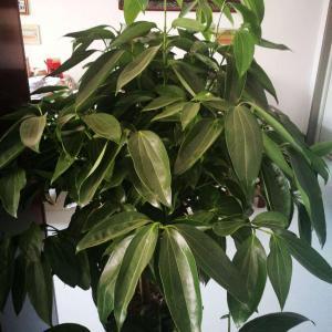 请问这是什么树?株高一米六左右,室内养的