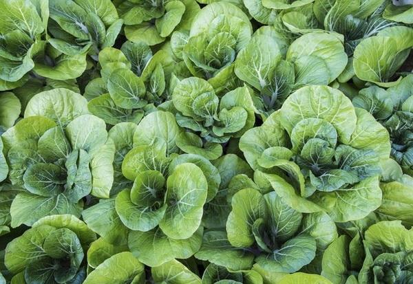 What to Do If a Bok Choy Flowers