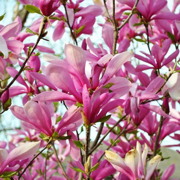 Magnolia liliiflora – Lily Magnolia