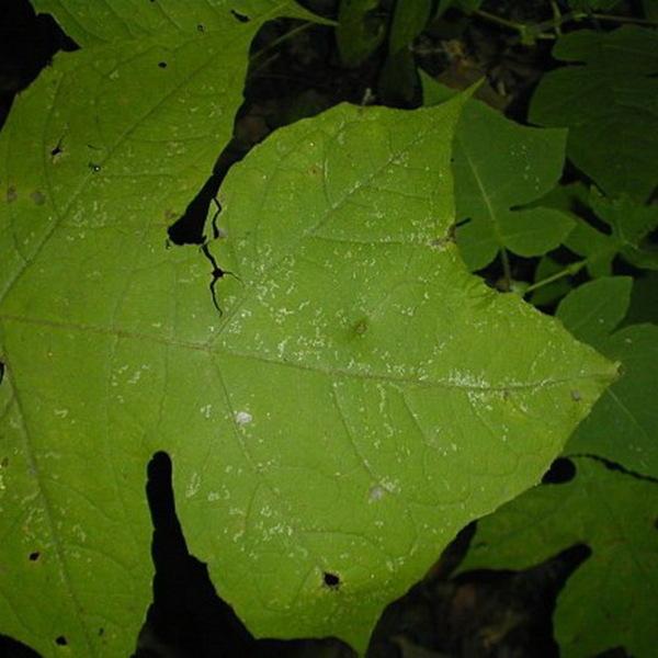 Leaf-Cup