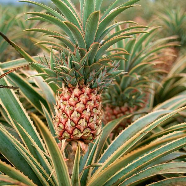 #growing fruits Re-grow a pineapple