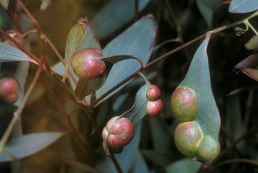 Leaf Gall Identification: Learn About Preventing And Treating Leaf Gall On Plants