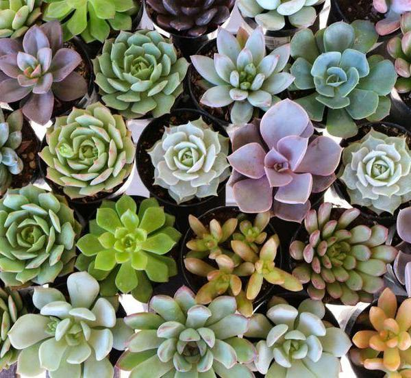Common Succulent Myths