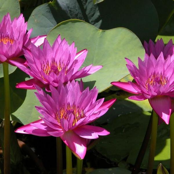 Wintering Water Lilies: How To Store Water Lilies Over Winter