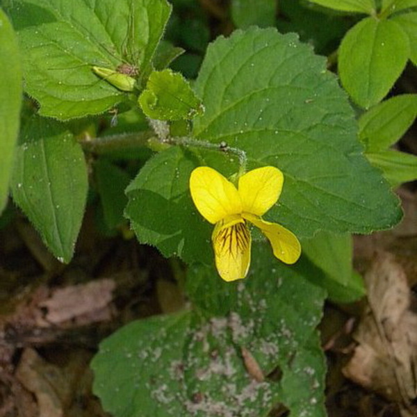 Hairy Yellow Violet
