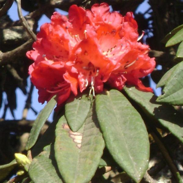 Rhododendron arboreum – Tree Rhododendron