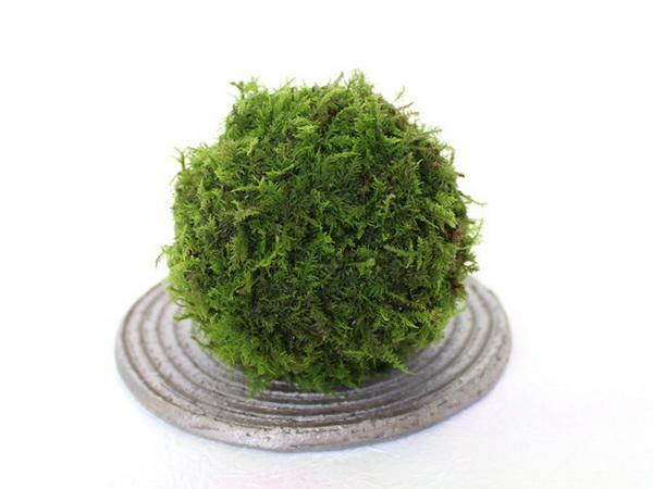 How to Propagate Moss Balls