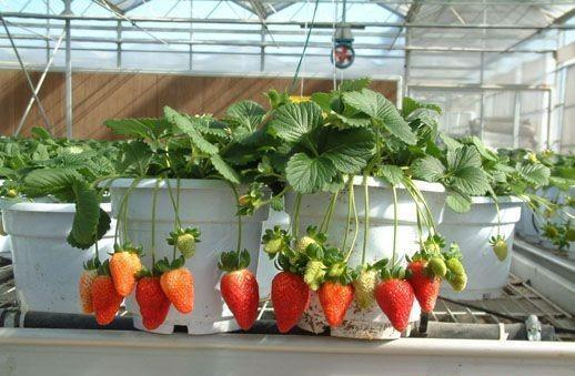 9 Unbeatable DIY Ideas for Growing Strawberries in a Little to No Space