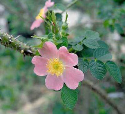 Rosa rubiginosa – Sweet Briar Rose
