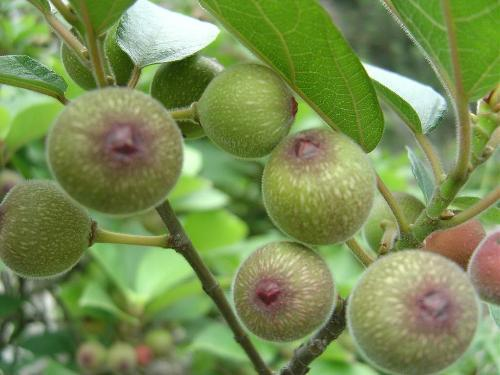 Fiddle Leaf Fig Care | How to Grow Fiddle Leaf Fig Tree