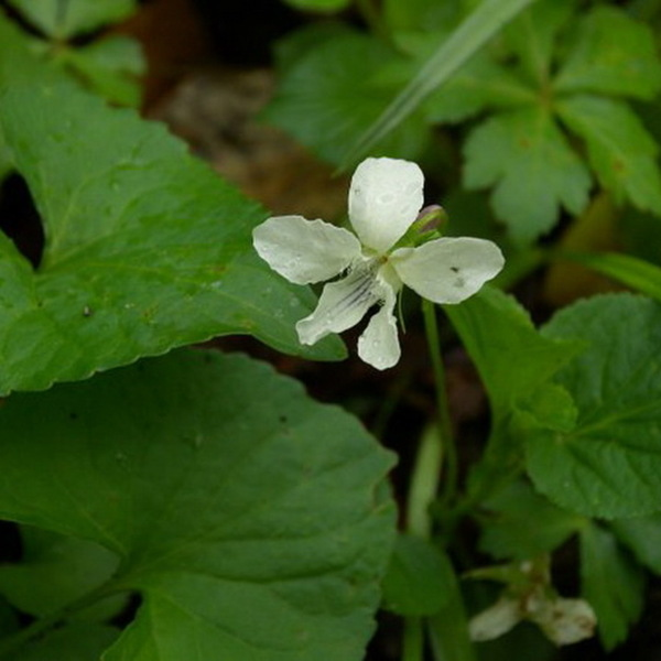 Striped White Violet