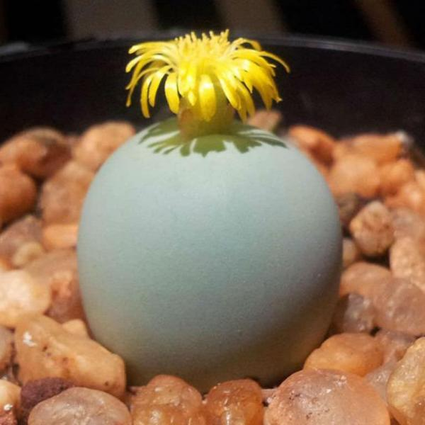 Conophytum calculus – Marble Buttons