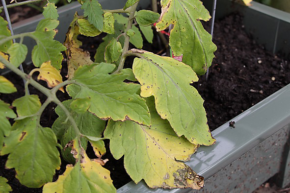 Yellow Plant Leaves: Find Out Why Plant Leaves Turn Yellow