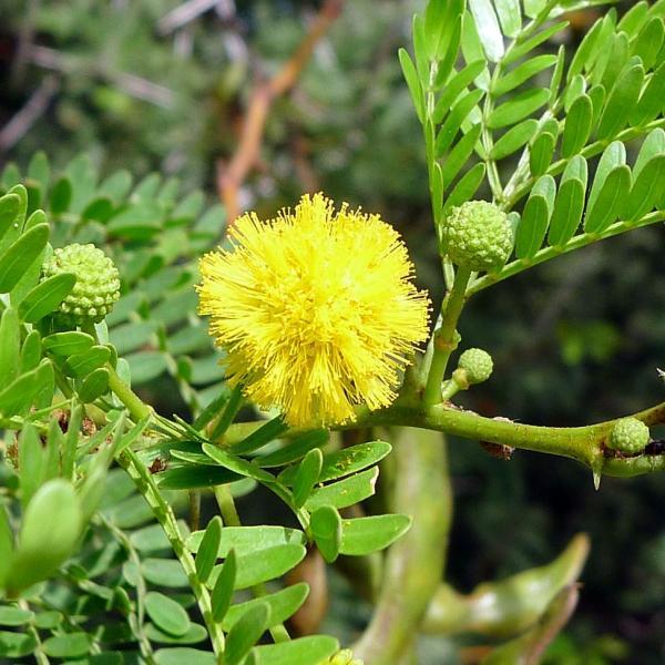 Vachellia karroo – Sweet Thorn