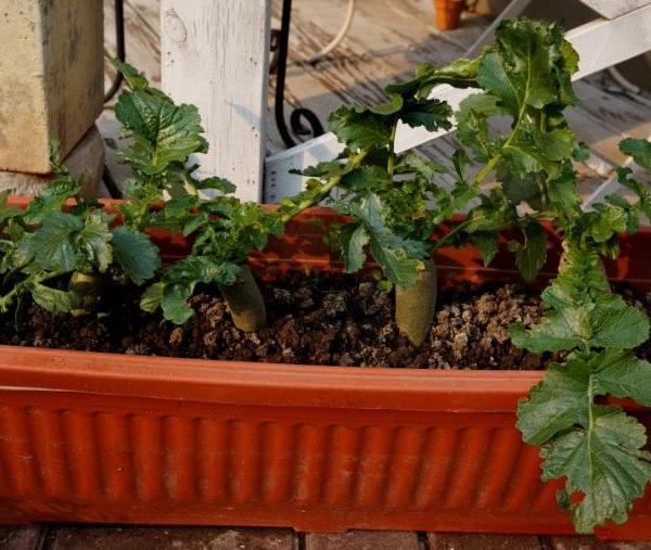 Windowsill Vegetable Gardening   11 Best Vegetables To Grow On Windowsill
