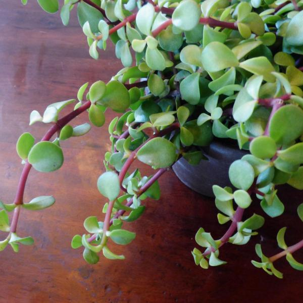 Growing Elephant Bush Indoors: How To Care For Elephant Bush Houseplants