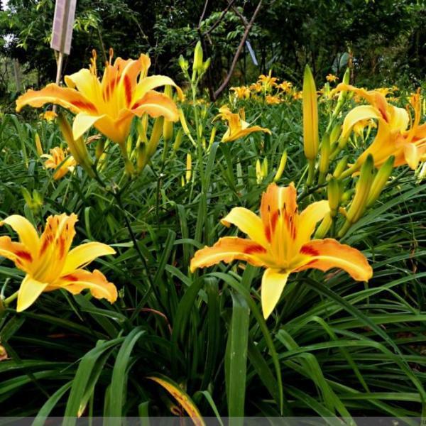 Easy to Grow : Delightful Daylilies