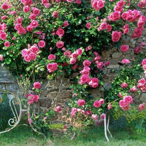 Roses growing on a trellis