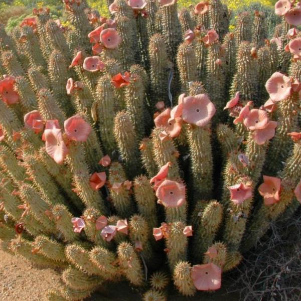 Myths and Facts about Hoodia