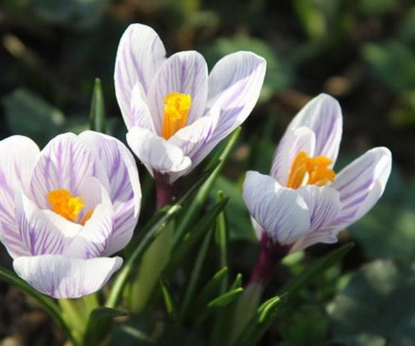 White crocus—Mito enjoy