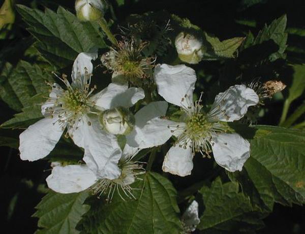 Pennsylvania Blackberry