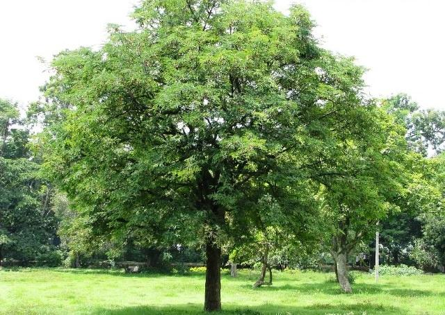 How To Grow Tamarind Tree Growing Tamarind Andy Garden Manage Gfinger Es La App De Jardineria Mas Profesional