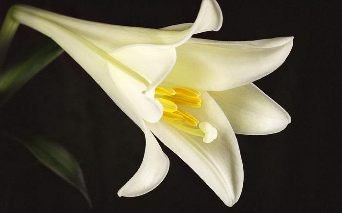 are easter lilies perennials