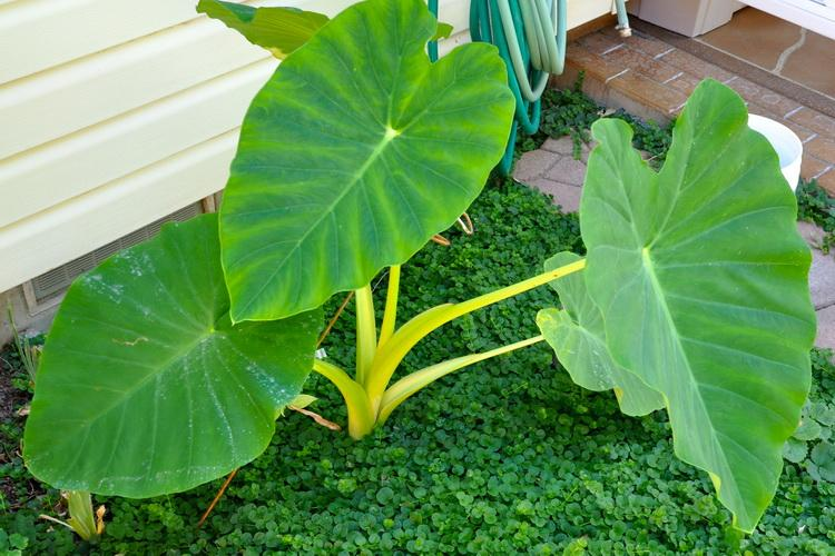 How To Care For Giant Elephant Ears In Winter Miss Chen Garden