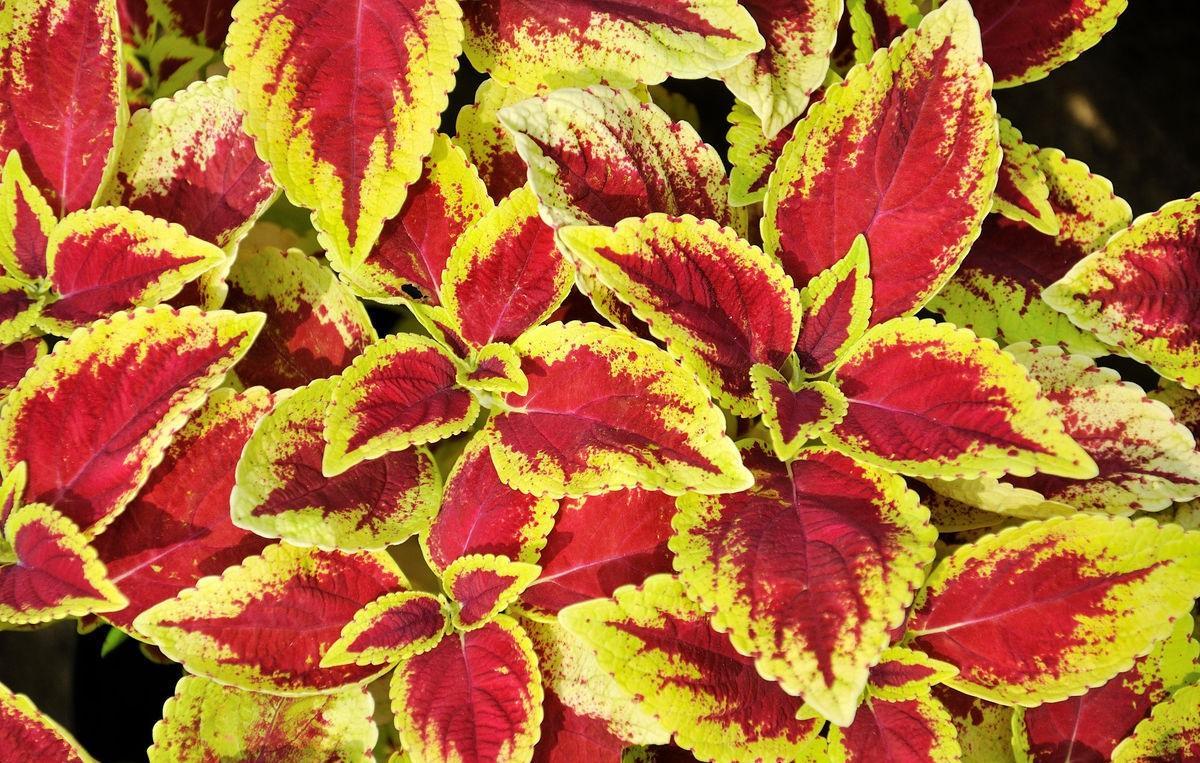 Are Coleus Plants Perennial Flowers Miss Chen Garden Manage