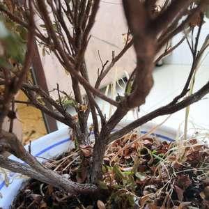 @༺ཎ祥ན༻   @老赖   @石头剪子布   @悟不空   @植物百科   @lily0813   @sunnyzou   @绿手指客服  大家帮我看看这个还有救么?两个多月没回家忘记浇水了🙏🙏🙏