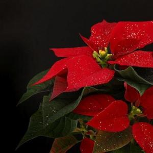 How to Prune Poinsettias