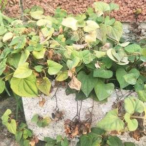 阿嬤的謎之植物