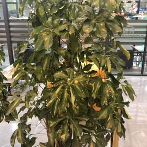 请问这是什么植物……该咋么么养啊……感觉慢慢叶子都掉了,好心疼