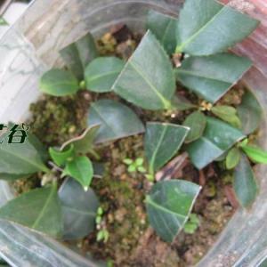 茶花扦插时间和方法