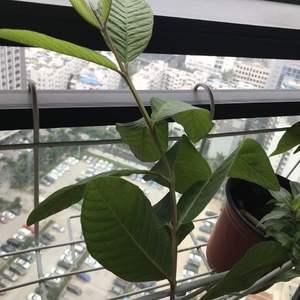 请教:茉莉花盆里自己长出来的,是否有毒?是否需除掉?