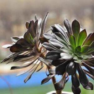 多肉黑玫瑰怎么养,多肉黑玫瑰的养护技巧和繁殖方法