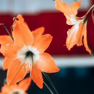 How to force amaryllis bulbs for Christmas