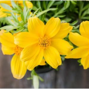 Bidens Plant Profile