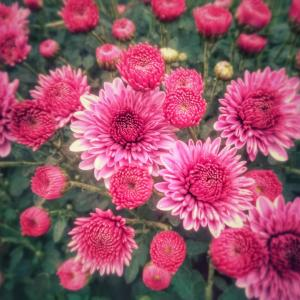If Mums Are Perennials?