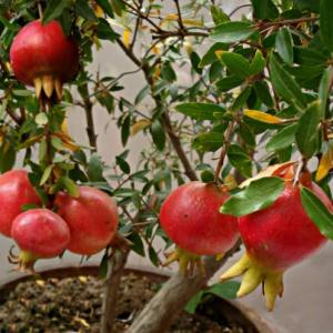 How to Grow Pomegranate Tree in Pot | Growing Pomegranates in Containers