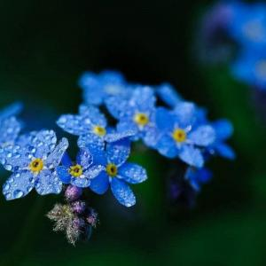 How to Grow Forget Me Not Flowers