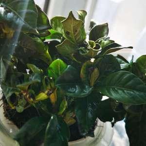 我的栀子花买回来缺水没有及时浇…第三天蔫了   及时补了水,下面小缸里放了水,每天都浇水,喷水,放在窗台有阳光的地方,但是到现在还是叶片很干,边缘变黑,叶片一碰就掉,还掉了两个花苞😭😭😭怎么办呀大家快救救它…
